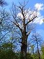 Naturdenkmal Schwarzpappel Stadtpark Riesa 2.JPG