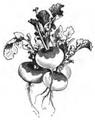 Navet rond sec à collet vert Vilmorin-Andrieux 1883.png