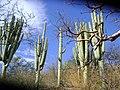 Neobuxbaumia tetezo (5758258805).jpg