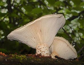Neolentinus lepideus 145631 cropped.jpg