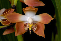 Neomoorea irrorata -1.jpg