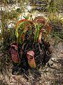 Nepenthes rowanae1.jpg