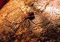 Nesticus eremita 1.jpg