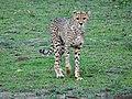 Ngorongoro (27) (14148937094).jpg