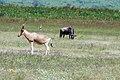 Ngorongoro 2012 05 30 2673 (7500970082).jpg