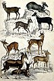 Nine different specimen of the family of antelopes (Bovidae) Wellcome V0020909EL.jpg