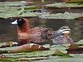Nomonyx dominicus Pato enmascarado Masked Duck (female and male) (15112571500).jpg