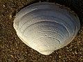 Noordwijk - Unidentified Mollusca.jpg