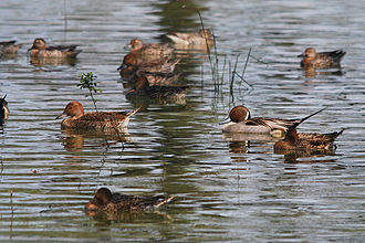 Bald Knob National Wildlife Refuge - The refuge hosts the largest concentration of wintering pintail ducks in Arkansas.