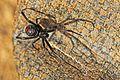Northern Black Widow - Latrodectus variolus, Julie Metz Wetlands, Woodbridge, Virginia.jpg