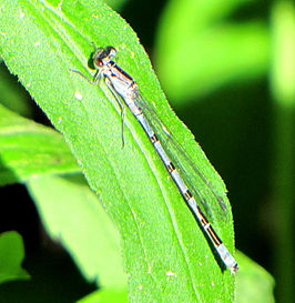 Northern Bluet.jpg