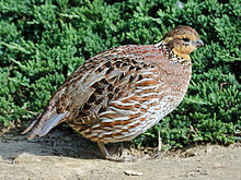 Northern Bobwhite female RWD.jpg