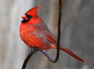 Fauna of Toronto - A northern cardinal at Lambton Woods Park in Toronto.