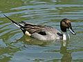 Northern Pintail male SMTC.jpg