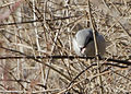 Northern Shrike, Pickerington Ponds, Ohio 2.jpg