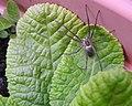 Nursery Web spider (28076546441).jpg