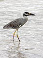 Nycticorax violaceus (at beach in water).jpg