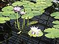 Nymphaeales - Nymphaea gigantea 3.jpg