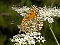 Nymphalidae - Melitaea diamina (female)-001.JPG
