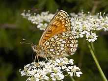 Nymphalidae - Melitaea diamina (female)-001.JPG