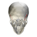 Occipitomastoid suture - skull - posterior view02.png