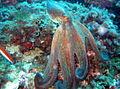Octopus vulgaris 3.JPG