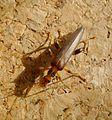 Oedemera femoralis. Oedemeridae - Flickr - gailhampshire.jpg