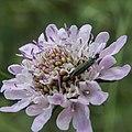 Oedemera nobilis-Scabiosa atropurpurea-20160423-1.jpg