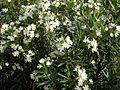 Oleander 045.jpg