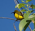 Olive-backed Sunbird (14308642427).jpg