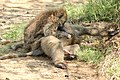 Olive babboons grooming (29638447137).jpg