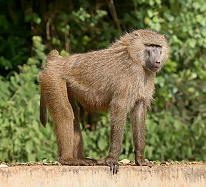Olive baboon - In the Ngorongoro Conservation Area, Tanzania