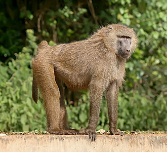 Old World monkey - Olive baboon (Papio anubis)
