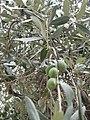 Olives and foliage, Thasos.jpg