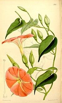 Operculina pteripes (Ipomoea alatipes) Bot. Mag. 88.5330