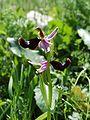 Ophrys bertolonii Ficuzza 0019.JPG