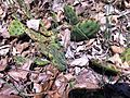 Opuntia humifusa prickly pear cactus.jpg