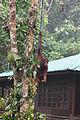 Orang Utan on rope (26418646352).jpg