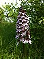 Orchidee neben Weinfeldern.jpg