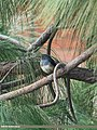 Oriental Magpie Robin (Copsychus saularis) (15272983454).jpg
