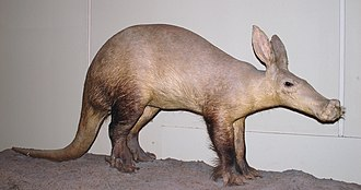 Orycteropus - Orycteropus afer - Aardvark