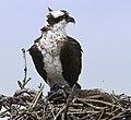 Osprey bird - 38011595981.jpg
