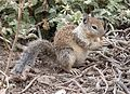 Otospermophilus beecheyi (California Ground Squirrel) - Flickr - S. Rae (1).jpg