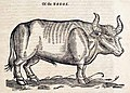 Ox woodcut Edward Topsell.jpg