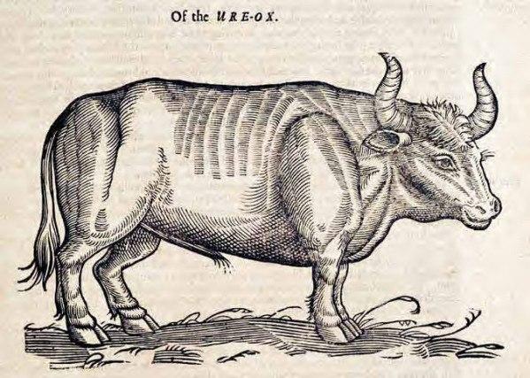 Ox woodcut Edward Topsell