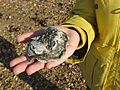 Oyster found on shore, held in hand.jpg