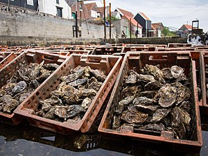 "Pacific oyster - Pacific oysters in Yerseke, Netherlands, are kept alive in large oyster pits after ""harvesting"", until they are sold. Seawater is pumped in and out, simulating the tide."