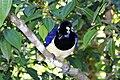 Pássaro Azul - GRALHA PICAÇA.jpg