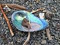 Pāua shell (Abelone, Ormer) and other coastal debris - panoramio.jpg
