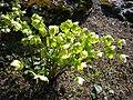 P1130508 Helleborus odorus (Ranunculaceae).JPG